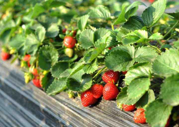پروژه کارآفرینی پرورش توت فرنگی