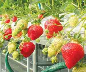 مقاله کشت توت فرنگی در محیط هیدروپونیک
