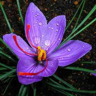 طرح توجیهی کشت و پرورش زعفران