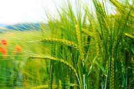 پاورپوینت اثر شوری و تراکم خاک بر جذب نیتروژن، فسفر و پتاسیم توسط گندم