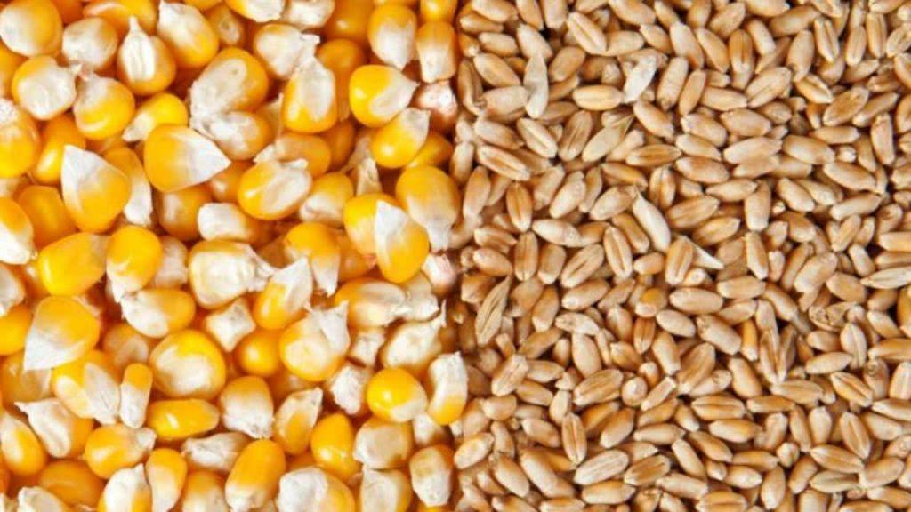 مقاله در مورد بذر گندم و ذرت (کنترل و گواهی بذر)