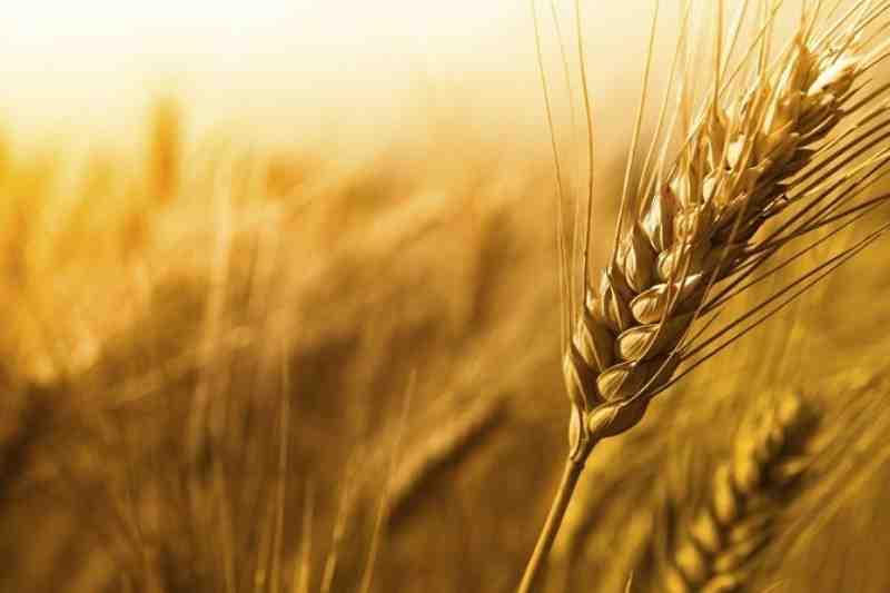 مقاله تحلیل های علمی تولید گندم در ایران و جهان