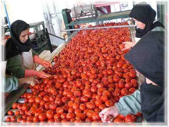 طرح توجیهی عملیات تهیه رب گوجه فرنگی