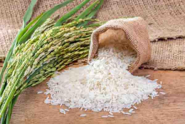 تحقیق گیاه شناسی برنج