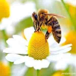 طرح توجیهی زنبورعسل