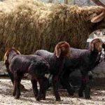 مقاله پرورش و اصلاح نژاد گوسفند