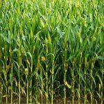پاورپوینت زراعت غلات علوفه ای